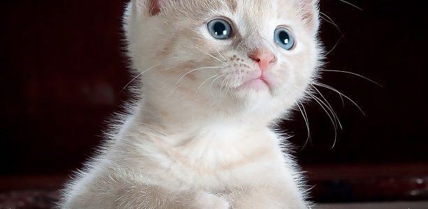 Adopting: Kitten vs Cat